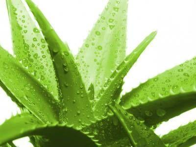 Растение алоэ