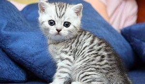 Имена для британских котов мальчиков