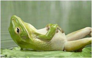 Лягушка с вздутым животом