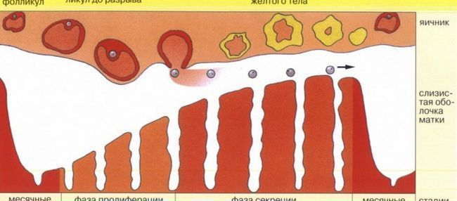 Как считается менструальный цикл и сколько он длится?